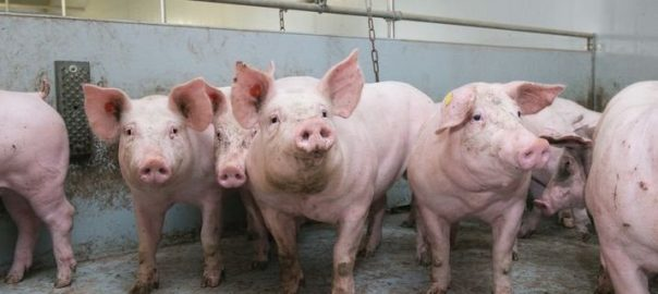 web-pig_fattener_grower_in_group_Crop_CY0_CX49_DPC_W715_H380